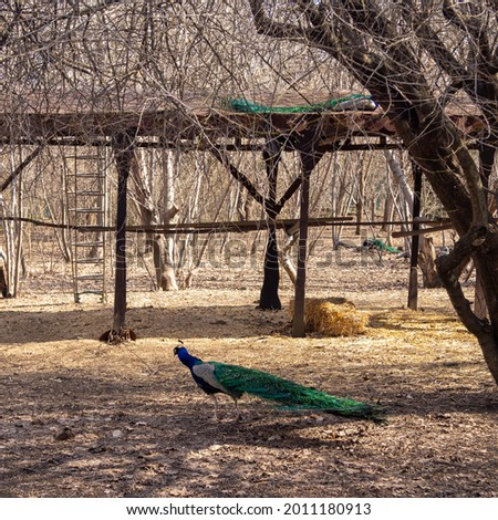 Peacocks in the city park Stok fotoğraf ©