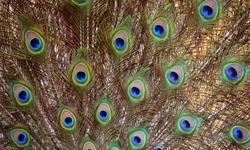Peafowl feathers include two Asiatic bird species  or Indian peafowl originally of India and Sri Lanka and the green peafowl of Myanmar, Indochina and Java and one African species the Congo peafowl