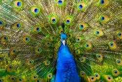Peafowl is a common name for three species of birds in the genera Pavo and Afropavo of the Phasianidae family, the pheasants and their allies. Male peafowl are referred to as peacocks. Pavo cristatus