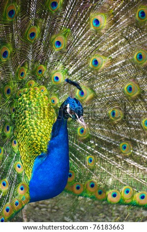 peafowl, Peacock, bird, Phasianidae, multicoulor, plumage, iridescent, blue, green, pavo