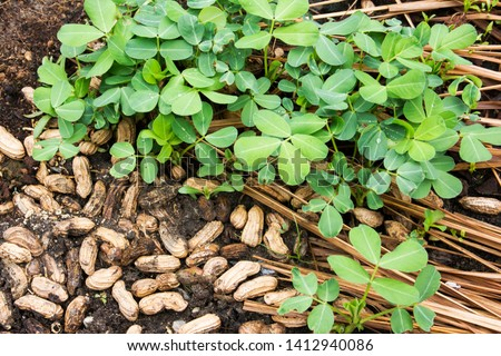 Peanut or groundnut tree plant agriculture with seeds at farm background.