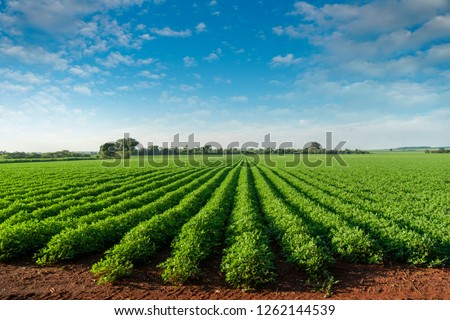 Peanut plantation fields with tree bush and a cloudy blue sky in the background