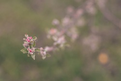 Pear bud flower in spring. Pear flower buds on a tree branch in early spring. Pink flower. Bright green leaves.  Branch of a blossoming tree with beautiful flowers.