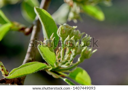Pear Buds Pictures