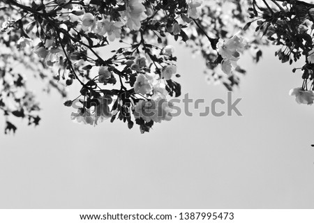 pear flowers white flowers close up black and white #1387995473