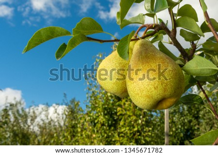 Pear fruit. Close up of a tree with a crop against blue sky and green garden. Industrial Gardening Photo stock ©