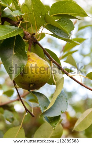 Pear hanging on a tree amidst leaves after rain.