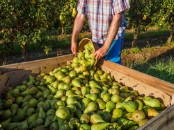 Pear harvest, Conference, in the countryside