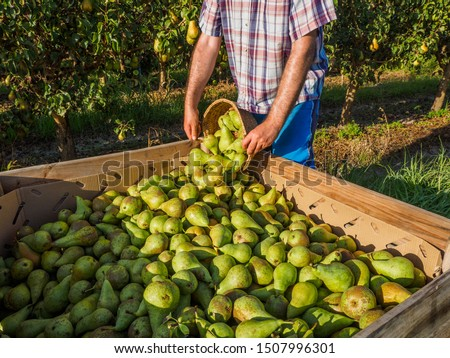 Pear harvest, Conference, in the countryside Photo stock ©