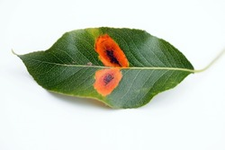 Pear leaf (upper side) with Pear rust - disease caused by Gymnosporangium sabinae fungus, close up, white background