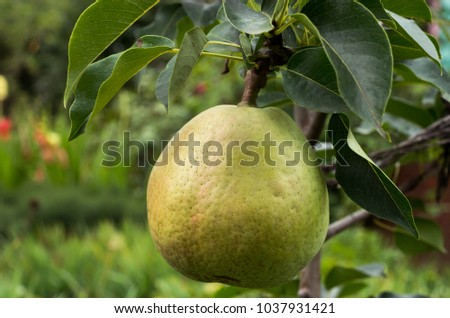 Pear on the columnar pear tree in the summer garden.