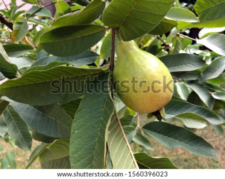 pear pear on a branch as a pear grows #1560396023