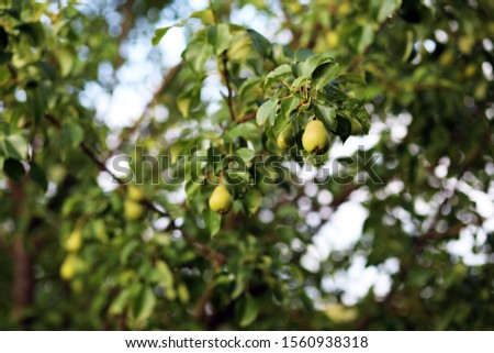Pear, pear tree, background, pear garden, fruits. #1560938318