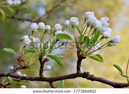 Pear tree buds in spring time Photo stock ©