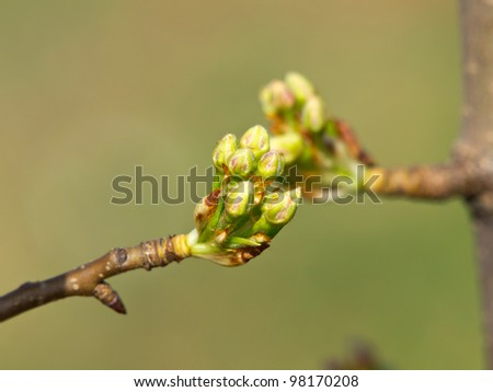 pear tree just before blossom - stock photo