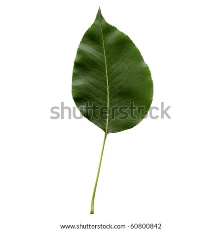 Pear tree leaf - isolated over white background - front side