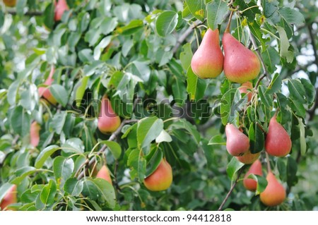 Pear tree. Pear green garden with fruit.