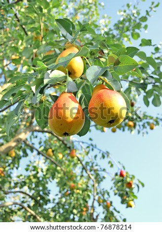 Pear tree. Pears on the tree. Pears on the background of green foliage