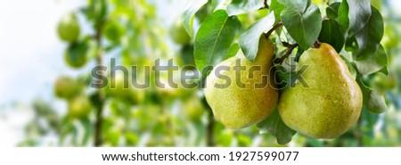 Pear tree. Ripe pears on a tree in a garden