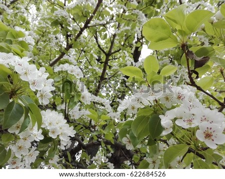 Pear tree with white flowers view in the spring ez canvas pear tree with white flowers view in the spring mightylinksfo