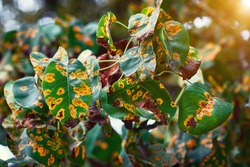 Pear trees fisease, rust spot on leaves. Fruit tree infected with fungus, yellow rust. Fruit plant disease. Pear leaf with Gymnosporangium sabinae infestation. Rust on plants, prevention trees disease
