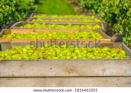 Pears growing in pear trees in an orchard in bright sunlight in autumn, Voeren, Limburg, Belgium, September 11, 2020  Photo stock ©