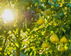 Pears, healthy food, healthy food, food of the Gods, organic food, pear juice, Eco, pear tree, fruit, harvest, pears in the garden, sunny day
