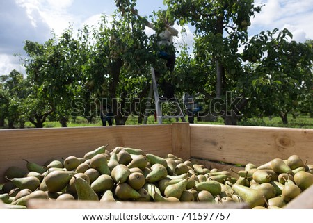 Pears in wooden crate #741597757