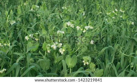 Peas and oats detail for green fertilization mulch field and soil nutrition for other crops and green manure farming organic, important for agricultural production, cover crop agricultute