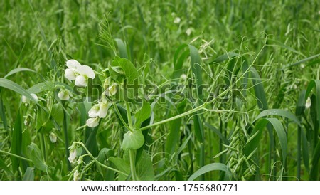 Peas and oats detail green fertilization mulch field soil nutrition for crops green manure farming organic, important agricultural production, cover crop agricultute and amentment, pea Pisum sativum Photo stock ©