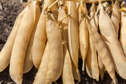 Peas in dry pods