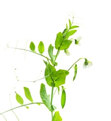 Peas plant. Pods of young green peas. Sweet Pea (pisum sativum). Branch of green pea on white background. Flowers of peas.