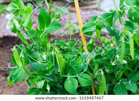 Peas plant with drops growing on the farm. Pods of young green peas. Sweet Pea (pisum sativum).