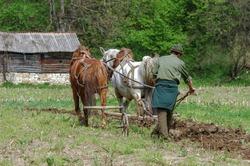 Peasant plowing with horse drawn plow,banat-romania