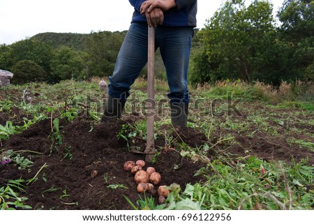 Shutterstock Peasant potato harvest