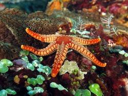 Pebble red seastar on colorful seafloor