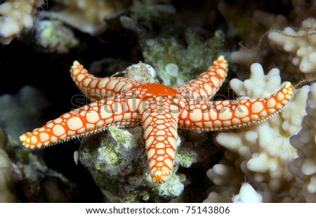 Pebbled sea star  Celerina-heffermani
