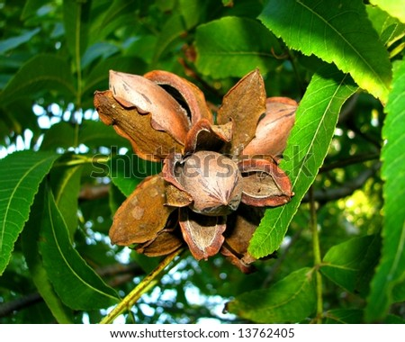 pecan nuts on the tree - stock photo