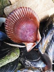 Pecten jacobaeus, the Mediterranean scallop, is a species of scallop, an edible saltwater scallop, a marine bivalve mollusc in the family Pectinidae, the scallops. Scallops on beach of Savudrija.