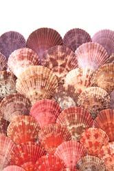 Pecten jacobaeus,  the Mediterranean scallop, is a species of scallop, an edible saltwater scallop, a marine bivalve mollusc in the family Pectinidae, on white background
