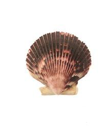 Pectinida Seashell, saltwater clams, marine bivalve molluscs, Scallop,  bivalve mollusk, on white background