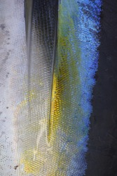 pectoral fin depression of yellowfin tuna, Thunnus albacares, caught off Cape Point, South Africa