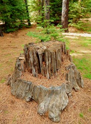 Peculiar Forest Site - A stump scene in the woods along Jack Creek - near Camp Sherman, OR
