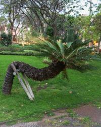 Peculiar palm tree Funchal Madeira Island
