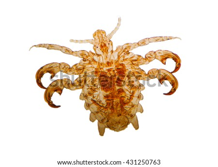 Pediculus humanus - head louse,permanent slide plate under high magnification softfocus isolated on white background(have clipping path)