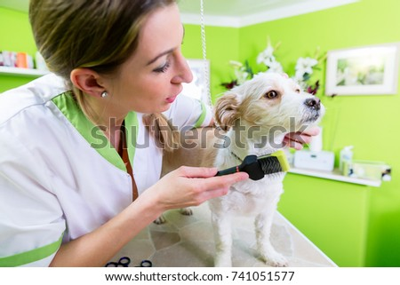 Pedicure for little dog in pet grooming parlor, woman is cutting his paws gently #741051577