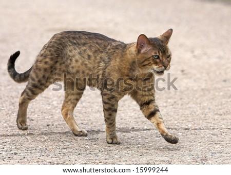 Pedigree bengal stud cat
