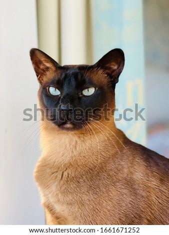 Pedigree brown mink Tonkinese cat portrait  Stock photo ©