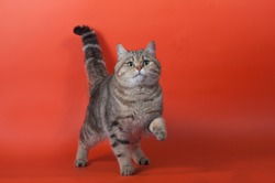 Pedigree cat lifted a front paw on an orange background