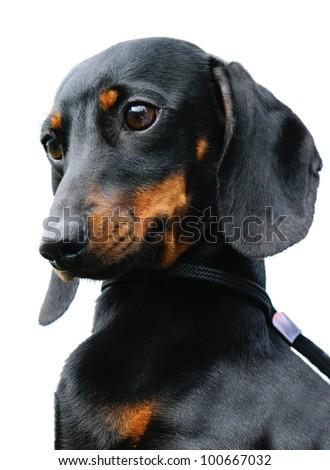 Pedigree dachshund dog portrait over white background